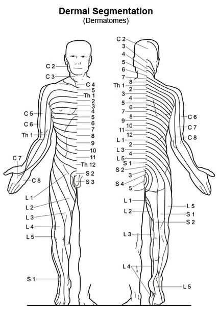 Dermatome Map http://www.orimtec.com/illustrations/pop-dermal.php